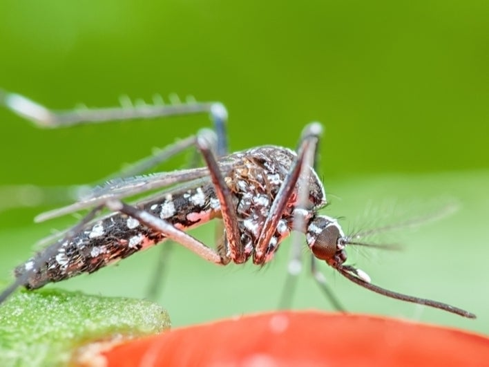 , California : Invasive Mosquitoes Plunge Deeper
