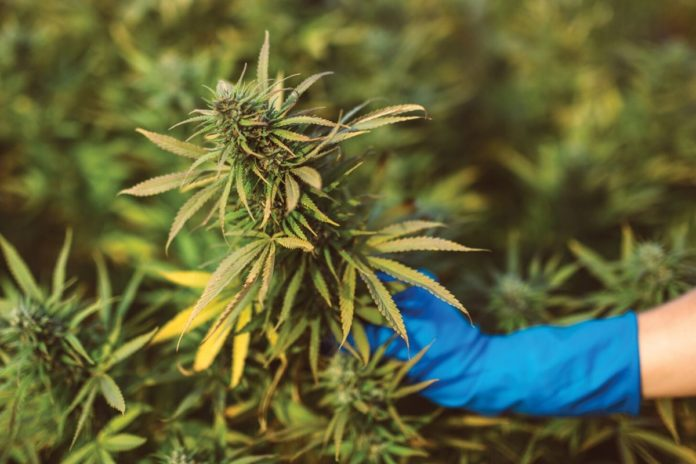 The UK Allows The Import Of Medical Cannabis- An Important Step In The Medical Industry