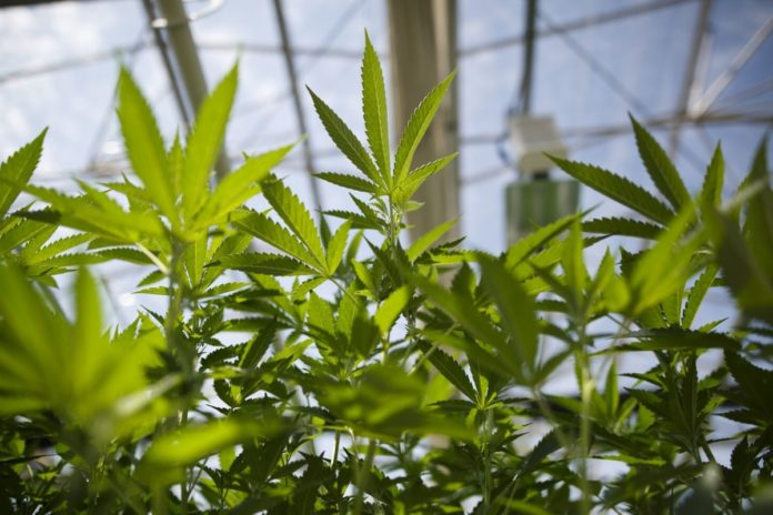 New Michigan rule could increase business for cannabis growers